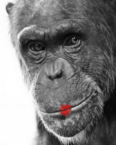 bonobo-11